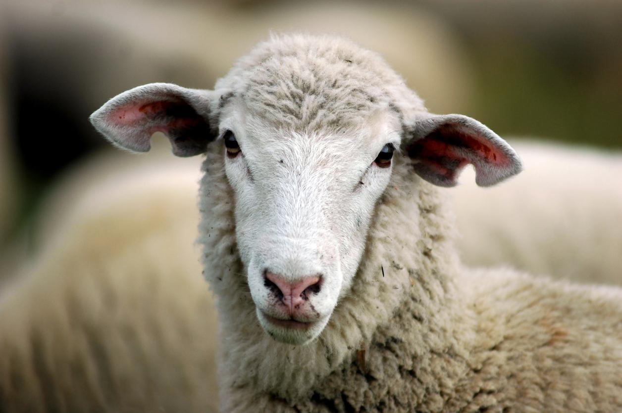 глаз овцы картинка