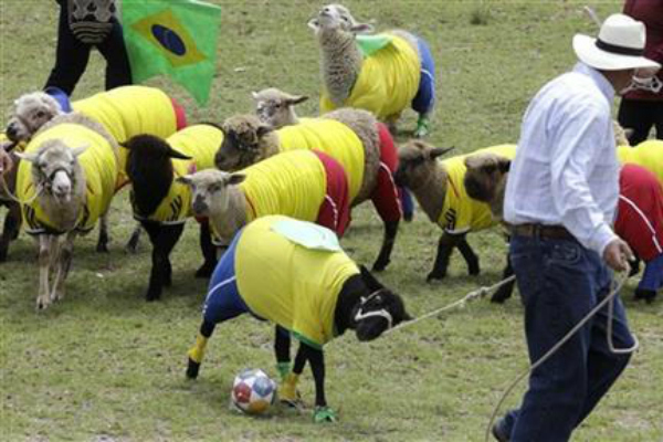 herd of sheep playing soccer