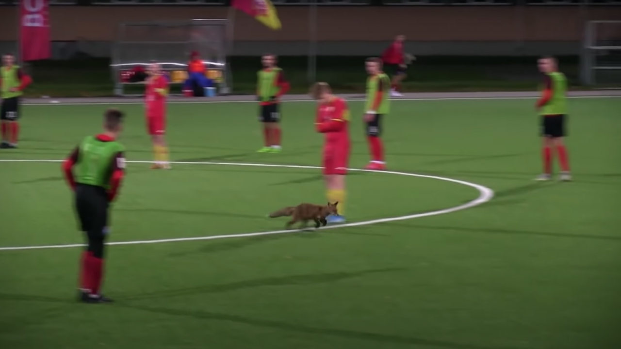 Fox On Pitch