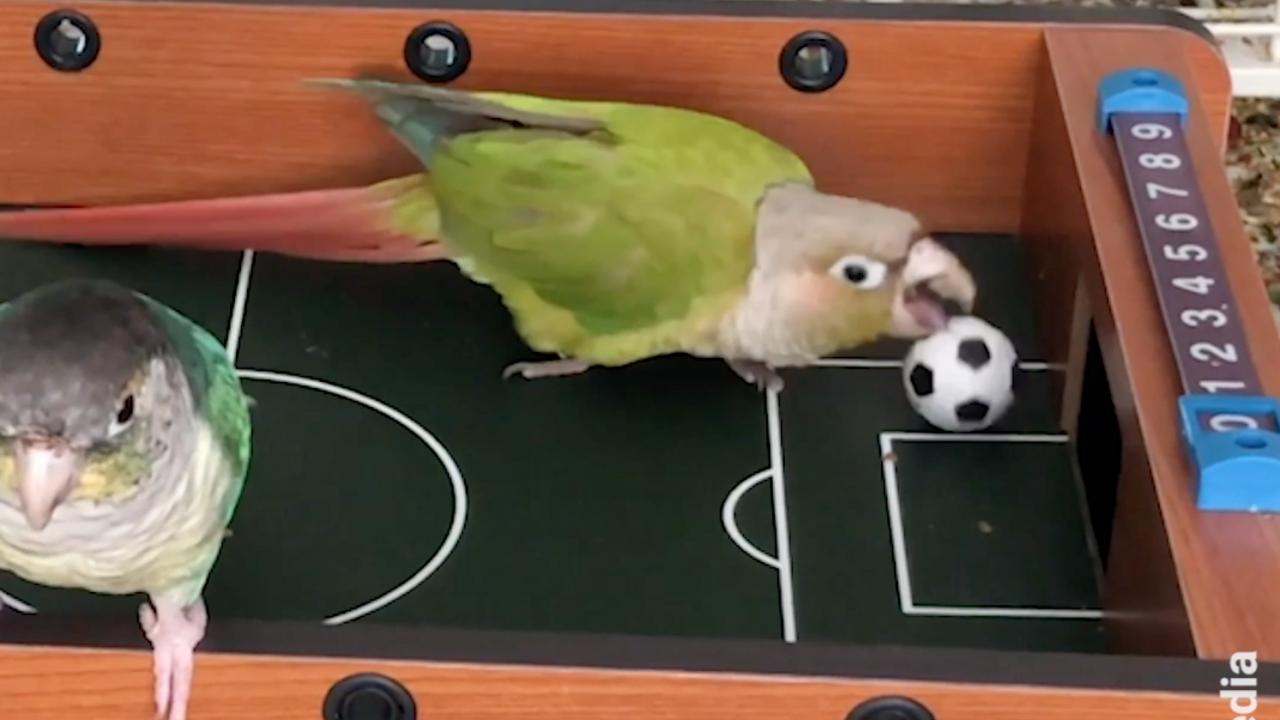 Parrot Soccer