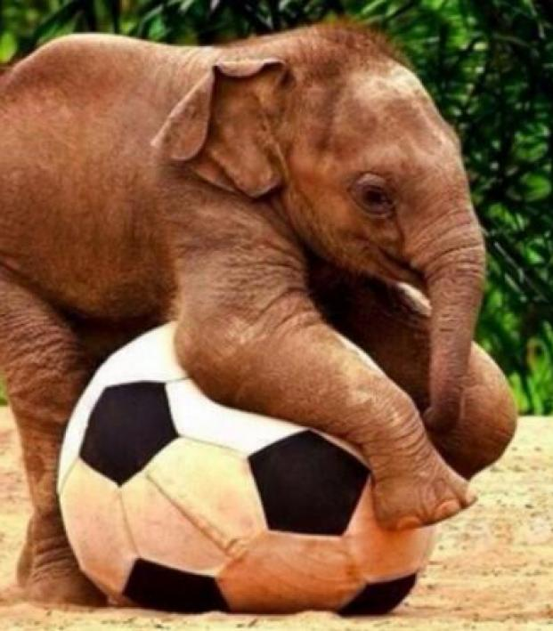 Elephant playing with a soccer ball