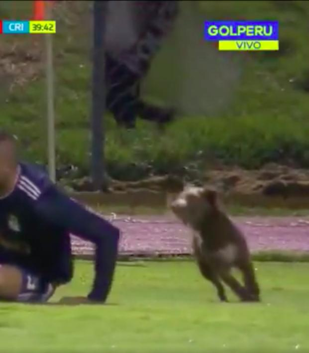 Dog on the pitch