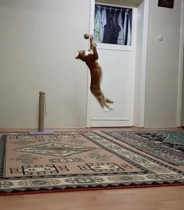 Cat Goalie In Training