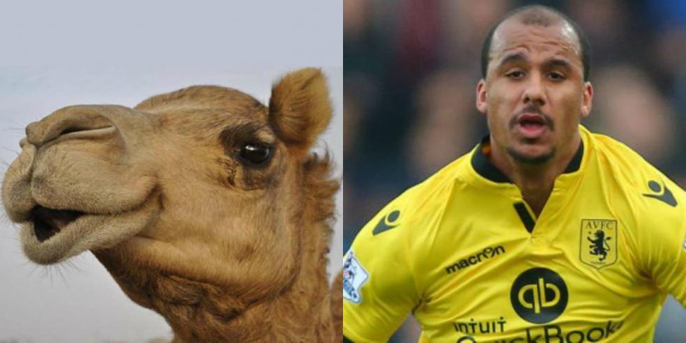 Gabriel Agbonlahor's animal look alike: a camel
