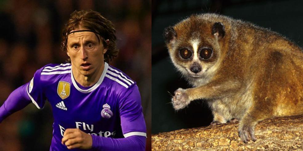 Luka Modric's animal look alike: a pygmy slow loris