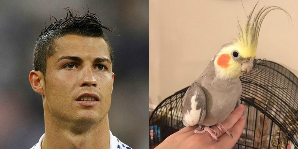 Cristiano Ronaldo's animal look alike: a cockatiel