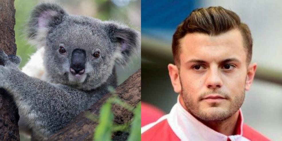 Jack Wilshere's animal look alike: a koala