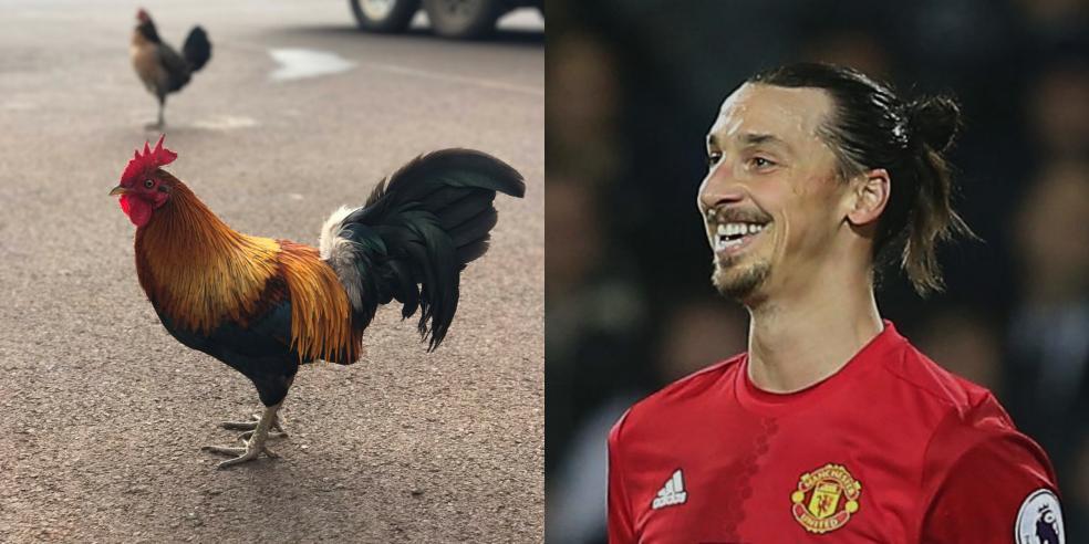 Zlatan Ibrahimović's animal look alike: a camel