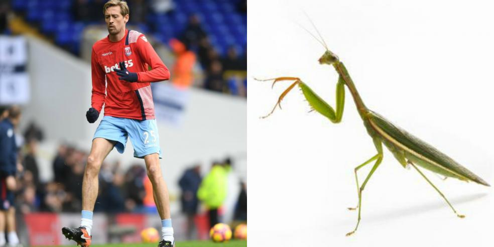 Peter Crouch's animal look alike: a praying mantis