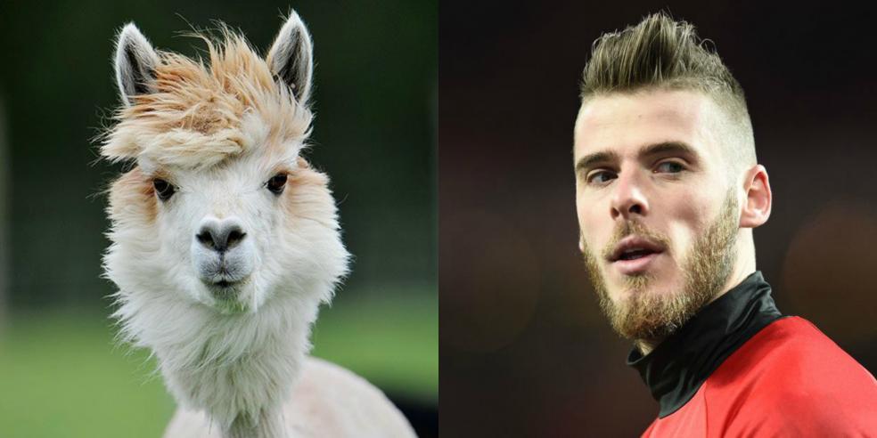 David de Gea's animal look alike: an alpaca