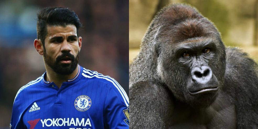 Diego Costa's animal look alike: a gorilla