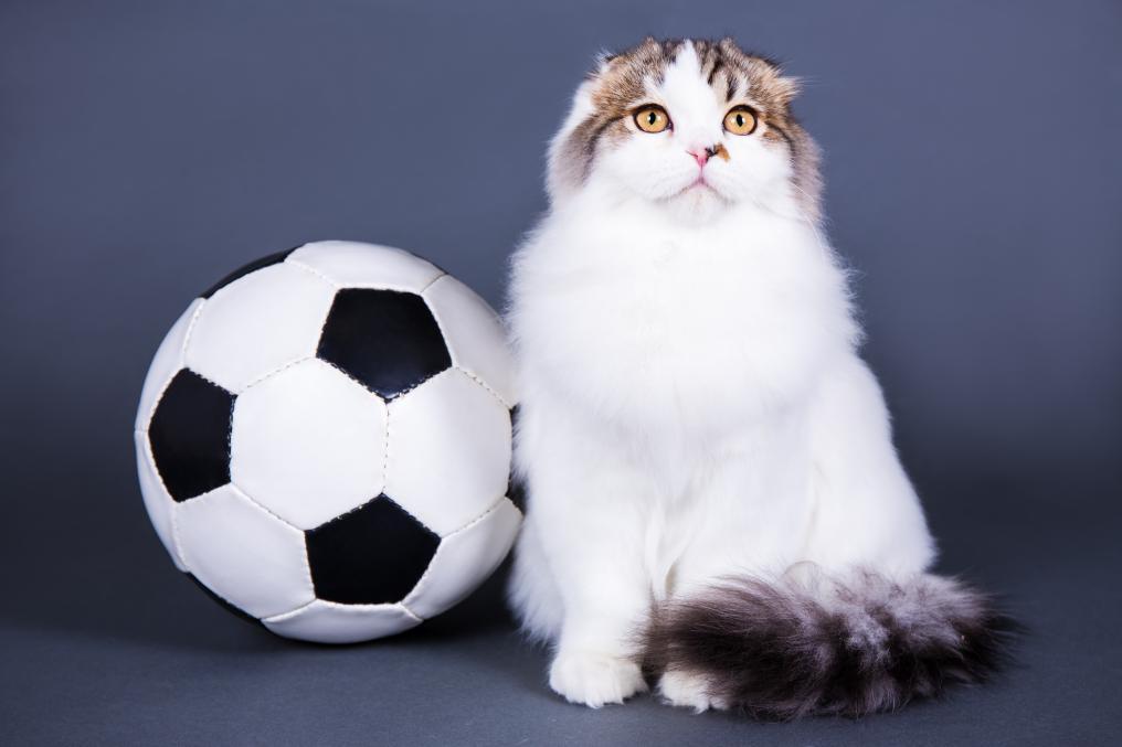 Soccer Cat British