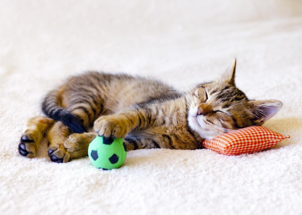 Soccer Cat Sleeping
