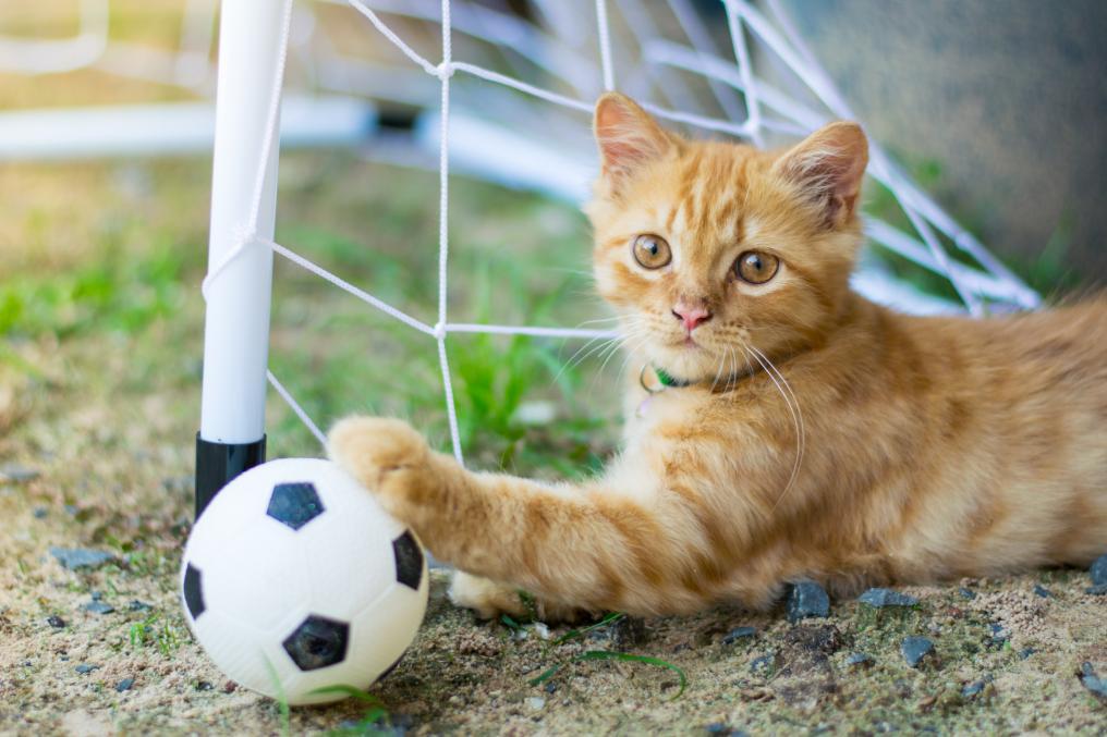 Soccer Cat Goalie