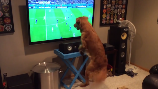 This dog loves watching soccer on TV.