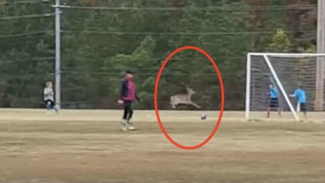 Soccer deer