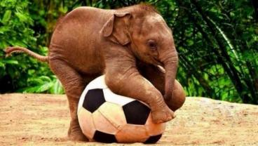Animals Playing Soccer. Just As Awesome As You Would Expect.