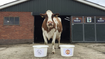 Psychic Cow Predicts Winner Of Tomorrow's Europa League Final