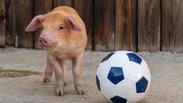 PSA: Austin Bold FC Giving Free Admission With Farm Animal